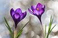 Картинка фиолетовый, капли, весна, крокусы