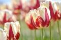 Картинка макро, тюльпаны, бутоны, пестрый