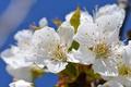 Картинка макро, вишня, ветка, весна