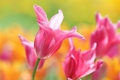 Картинка макро, лепестки, тюльпаны, боке