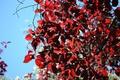 Картинка листья, дерево, красные