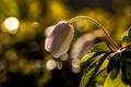Картинка макро, весна, боке, Ветреница