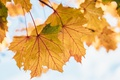 Картинка осень, листья, желтые, клен