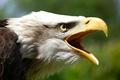 Картинка feathers, eagle, beak, Haliaeetus leucocephalus