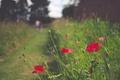 Картинка цветы, маки, красные лепестки