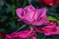 Картинка бутон, макро, лепестки, роза