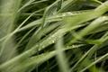 Картинка трава, роса, зеленая