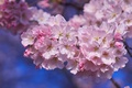 Картинка вишня, розовый, сакура