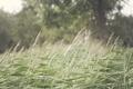 Картинка трава, дерево, колоски, зеленые