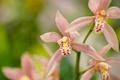Картинка макро, лепестки, экзотика, орхидея, Цимбидиум