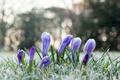 Картинка иней, цветы, лепестки, крокусы
