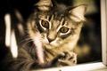 Картинка глаза, взгляд, фон, сибирская кошка