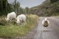 Картинка дорога, природа, овцы
