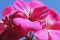 Картинка цветы, природа, лепестки, соцветие