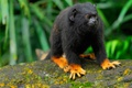 Картинка шерсть, обезьяна, Бразилия