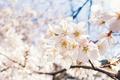 Картинка небо, макро, свет, вишня, весна, сакура