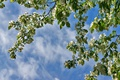 Картинка небо, ветки, весна, яблоня
