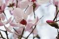 Картинка розовая, нежность, весна, магнолия