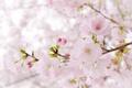 Картинка дерево, розовый, нежность, весна, сакура
