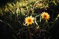 Картинка трава, цветы, желтые, лепестки