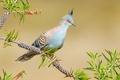 Картинка птица, голубь, ветка, хохолок