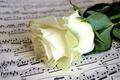 Картинка ноты, роза, бутон