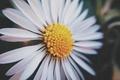 Картинка цветок, ромашка, белые лепестки