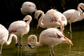 Картинка птицы, розовые, фламинго