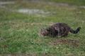 Картинка кошка, трава, кот, охота