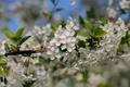 Картинка макро, вишня, дерево, ветка, весна, цветение