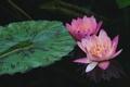 Картинка вода, отражение, розовая, нимфея, водяная лилия
