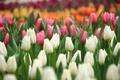Картинка белый, оранжевый, розовый, тюльпаны, бутоны