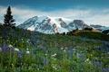 Картинка трава, цветы, горы, ледник, луг, США, Mt Rainier National Park