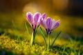 Картинка весна, крокусы, дуэт