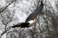 Картинка фон, птица, орел, крылья