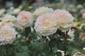 Картинка розы, лепестки, белые