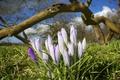 Картинка цветы, весна, крокусы, полсатые