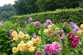 Картинка цветы, парк, желтые, фиолетовые, деревья, кусты, георгины
