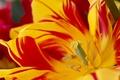 Картинка макро, тюльпан, лепестки, пестрый