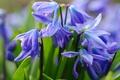 Картинка макро, весна, первоцвет