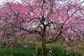 Картинка природа, дерево, сакура, цветение