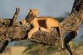 Картинка дерево, хищник, львица
