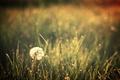 Картинка поле, природа, одуванчики