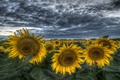 Картинка поле, небо, облака, подсолнухи, вечер, желтые, hdr