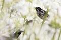 Картинка цветы, птица, Австралия, медосос
