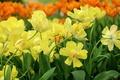 Картинка желтый, весна, лепестки, тюльпаны