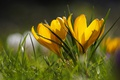Картинка макро, весна, крокусы, шафран