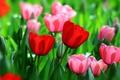 Картинка красный, весна, тюльпаны, бутоны