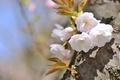 Картинка сакура, весна, дерево, вишня