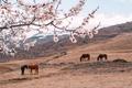 Картинка поле, пейзаж, цветы, природа, кони